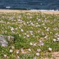 吉崎海岸 ハマヒルガオ