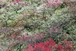 日永梅林と南部丘陵公園の梅林