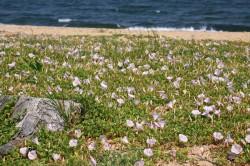 吉崎海岸ハマヒルガオ