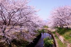 鹿化川桜まつり